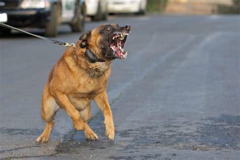 Belgian Malinois as Military Dogs