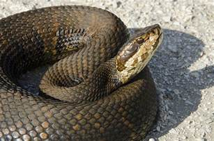 Young Water Moccasin Snake