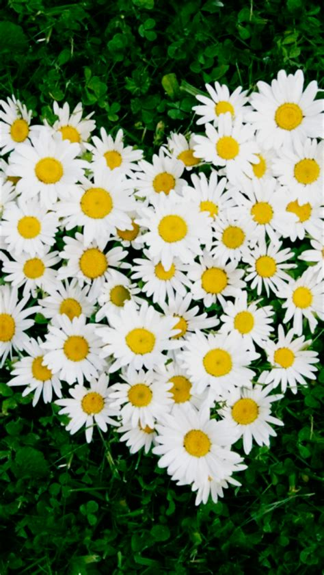 Daisy Flowers Wallpaper Tumblr HD Wallpapers Download Free Images Wallpaper [1000image.com]