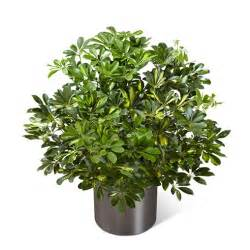 sympathy gift baskets free shipping schefflera arboricola at send flowers