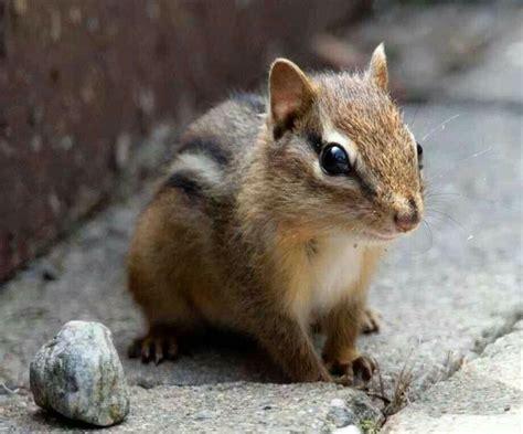 Baby Chipmunk Cute Animals Pinterest