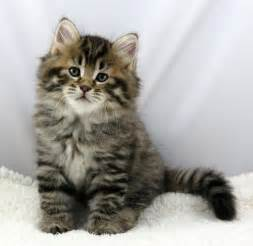 siberian cats for buying a siberian kitten buying a mystic melody siberian