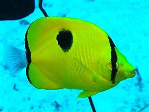 Teardrop Butterflyfish by Colin Knight