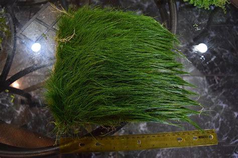Hair Grass Aquascape by Big Hairgrass Mat Carpet Wall Easy Aquarium