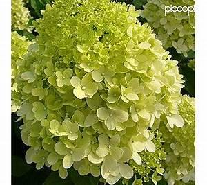 Hortensie Weiß Winterhart : piccoplant rarit t rispen hortensie wechselnde bl tenfarbe winterhart ~ Orissabook.com Haus und Dekorationen