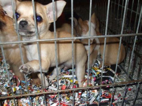traffico cuccioli lav meglio adottare quelli nei canili