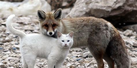 best fox pictures somewhere in turkey a cat and a fox are best friends huffpost