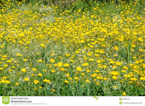 Yellow And White Meadow Flower : Yellow And White Flowers In Spring Blooming Meadow Stock