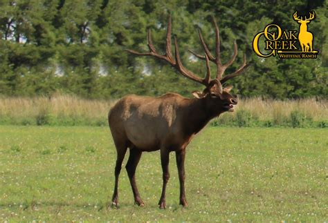 Hunters Harvest Estimated 43 400 Colorado Elk In 2011 171