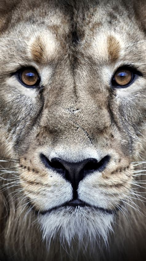 wallpaper lion hd  animals