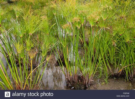 papyrus pflanze kaufen papyrus segge papier reed indische matten pflanze nil