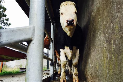 What Causes Abortion In Beef Cows And Heifers Agrilandie