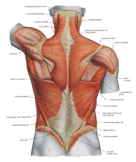 Human And Neck Diagram by Diagram Back Muscles Back Human Anatomy Diagram