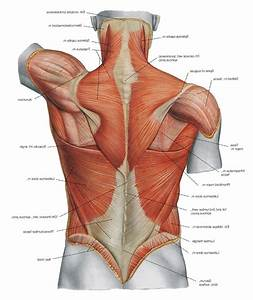 Diagram Back Muscles Upper Back Human Anatomy Diagram