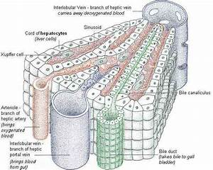 A-level Biology/Mammalian Physiology and Behavior/The ...