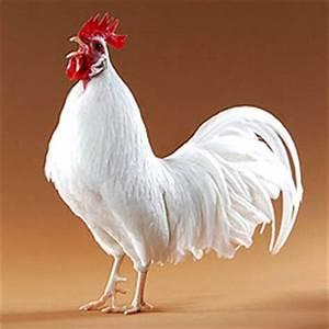 Chicken Breeds - Leghorn (White)