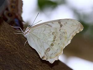 Morpho polyphemus - Wikipedia  White