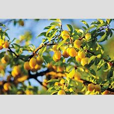 Marvelous Mirabelle Plum Trees  Plant Profiles Heirloom