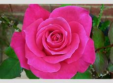 National Flower Of Luxembourg Rose 123Countriescom