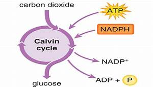 What Are The 3 Stages Of The Calvin Cycle