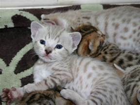 snow bengal cat snow bengal kittens animal