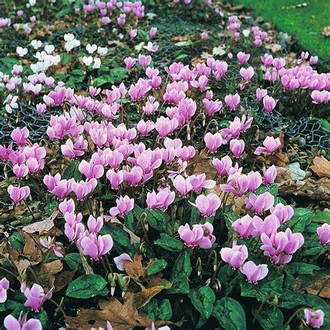 whole year flowering plants cyclamen hederifolium dirt simple