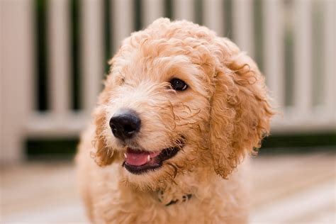 6 Goldendoodle Colors We Love Everything Doodle