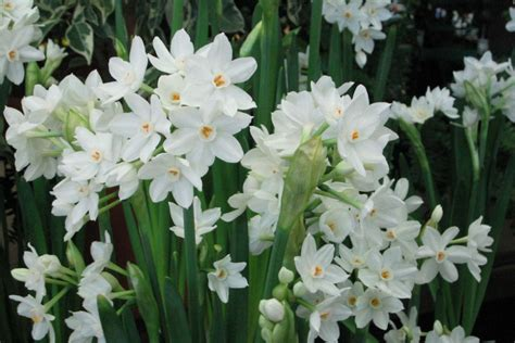 paperwhite narcissus sperling nursery gift shop