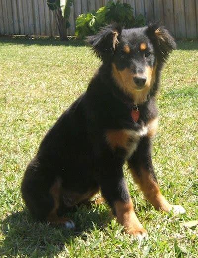 Dakotah Shepherd Dog Breed Information And Pictures