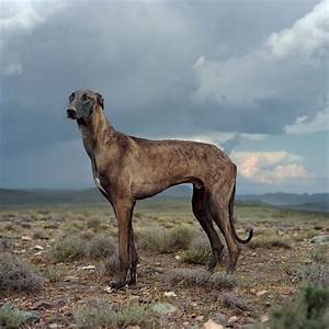 1369 a feral africanis a wild breed of dog by photographer daniel naud