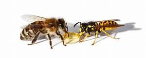 Bienen Und Wespen : wespen und bienenstichallergie was nun hibbelinchen ~ Whattoseeinmadrid.com Haus und Dekorationen