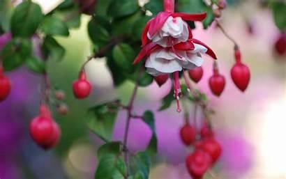 Heart Flowers Wallpapers Nature Fuchsia Fucia Fuschia