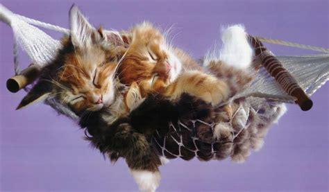 Kitten In A Hammock by Relaxing In The Hammock Kittens