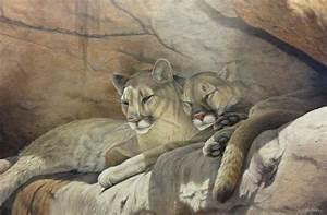 Mountain lion painting by Rob Macintosh | Art - Wildlife ...