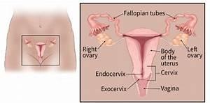 Cervix Uterus And Fallopian Tubes
