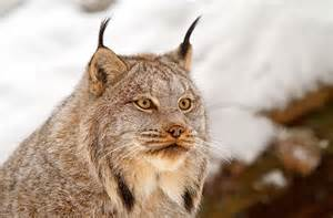 lynx cats lynx cat pictures eurasian canada iberian and the