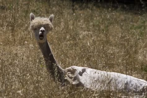 funny alpaca pictures   news icon