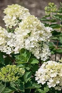 Hortensie Weiß Winterhart : bcm hortensie bombshell h he 50 60 cm 2 pflanze online kaufen otto ~ Orissabook.com Haus und Dekorationen