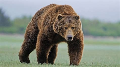 Медведи youtube