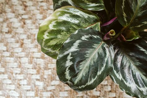 grow calathea indoors