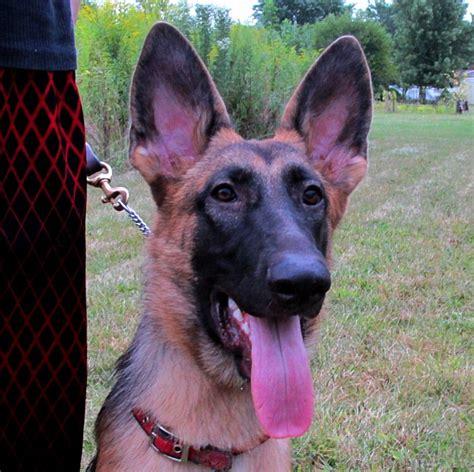 Rachel Clark Raebark German Shepherd Dogs Puppies For Sale