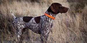 German Shorthaired Pointer Pet Dog 4 Background Wallpaper ...