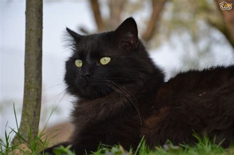 cat breeders 10 of the friendliest cat breeds on the planet pets4homes
