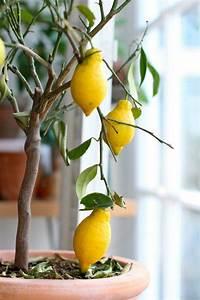 Zitruspflanzen Gelbe Blätter : zitronenbaum pflege so z chten sie richtig einen zitronenbaum zitronenbaum pinterest ~ Orissabook.com Haus und Dekorationen