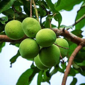Baum Pflanzen Anleitung : mangobaum mango selber ziehen pflege anleitung ~ Frokenaadalensverden.com Haus und Dekorationen