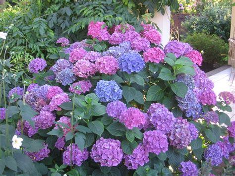 hydrangea bushes dr dan s garden tips the range of hydrangea