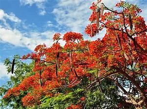 Baum Mit Langen Schoten : der tansanische weihnachtsbaum tanzania experience ~ Lizthompson.info Haus und Dekorationen