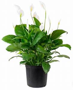 Top 10 plants for an indoor vertical garden peace lily for Peace lily in bathroom