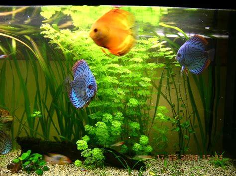 poisson amazonien d aquarium poisson aquarium amazonien 28 images faune biotope les poissons g 233 ants des am 233 riques