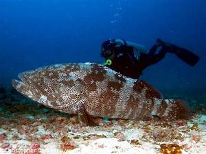 Humphead wrasse killing stirs calls for protection and ...